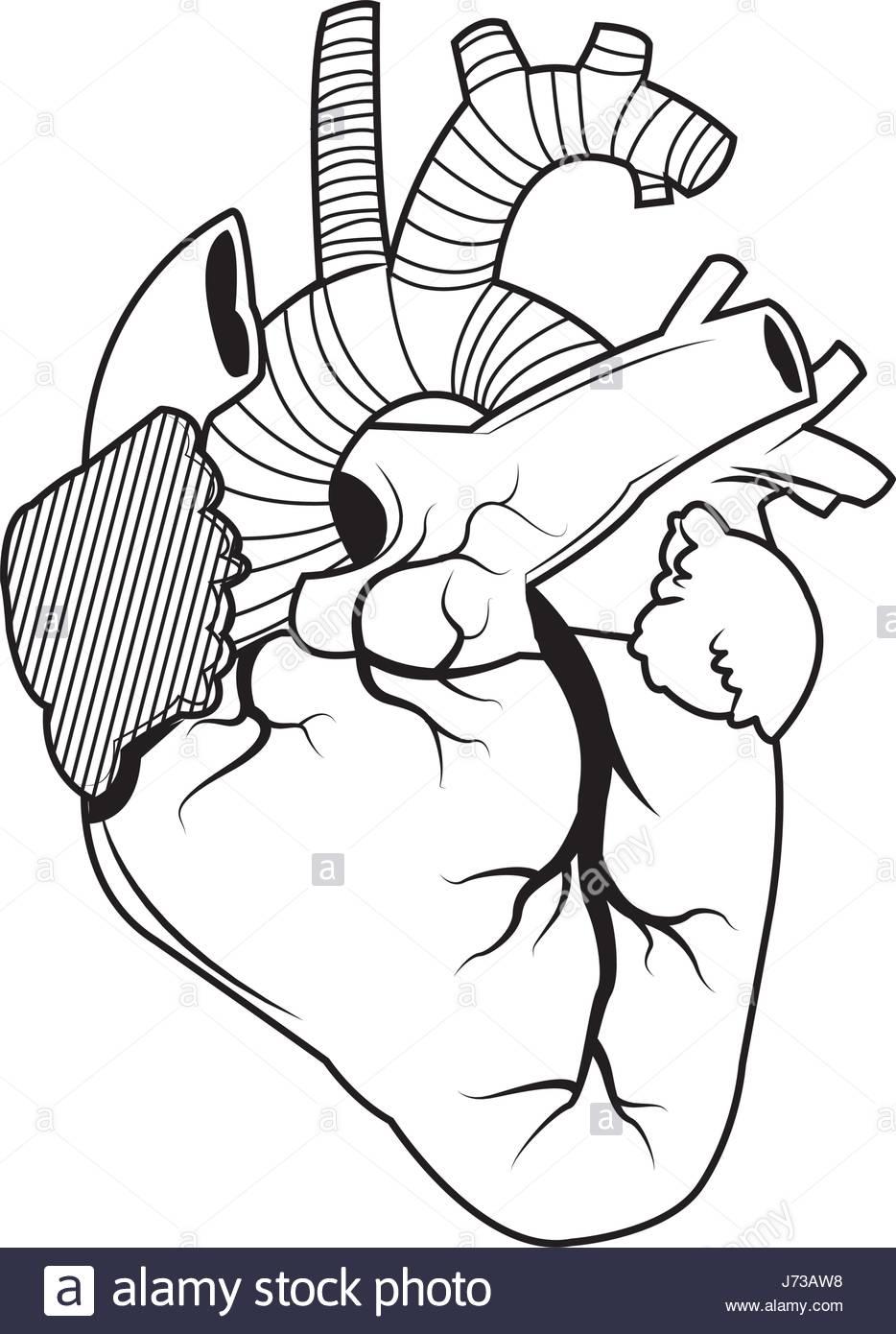 934x1390 Human Heart