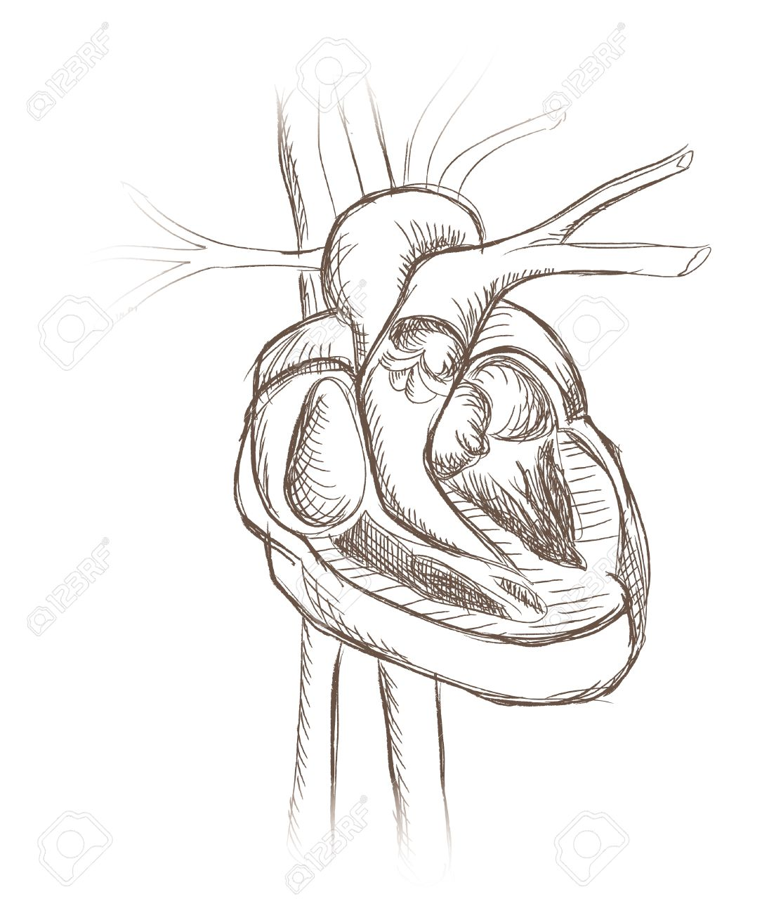 1085x1300 Human Heart Anatomy From Healthy Body, Vector Illustration