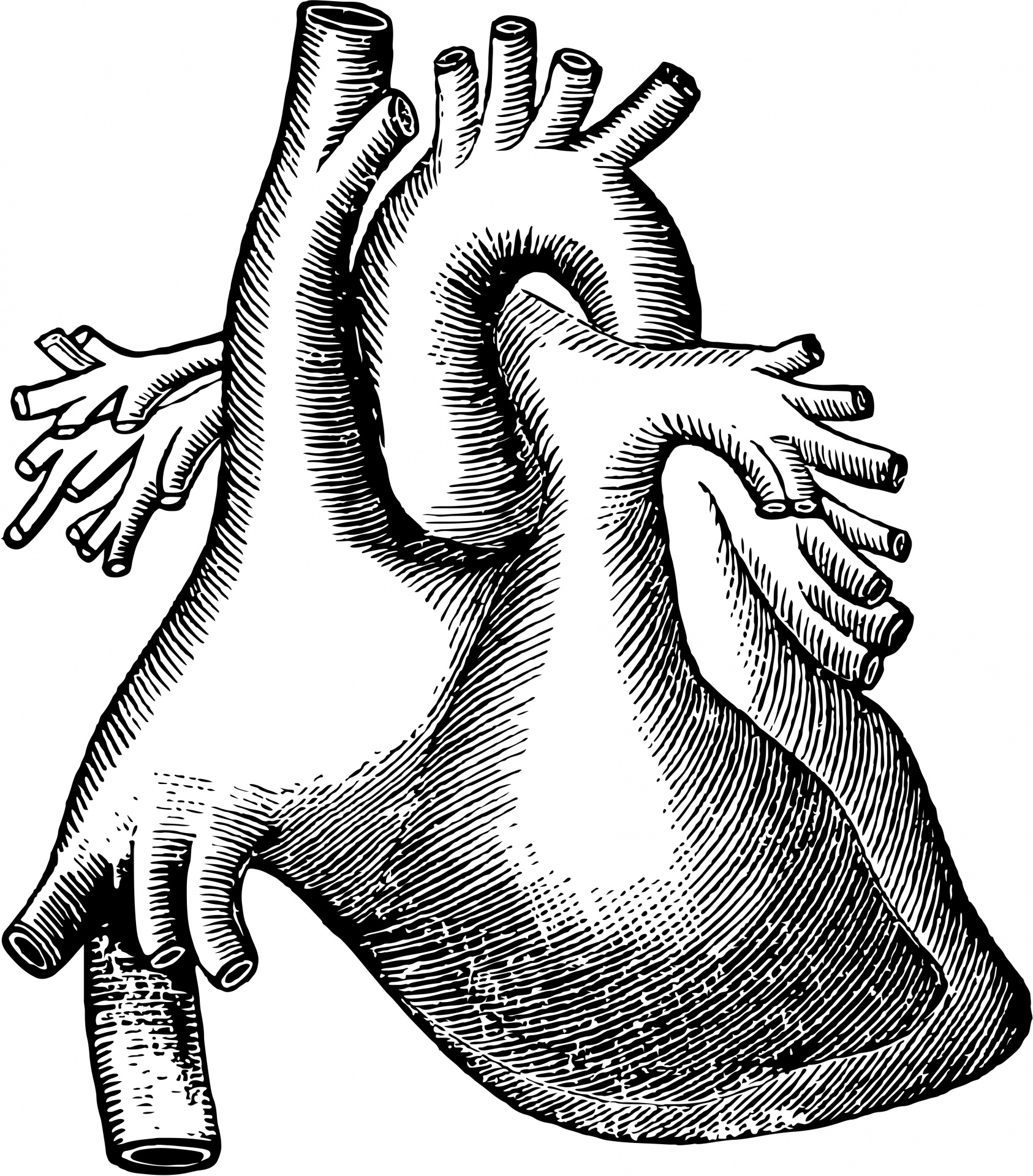 1686x1920 Human Heart Free Stock Photo