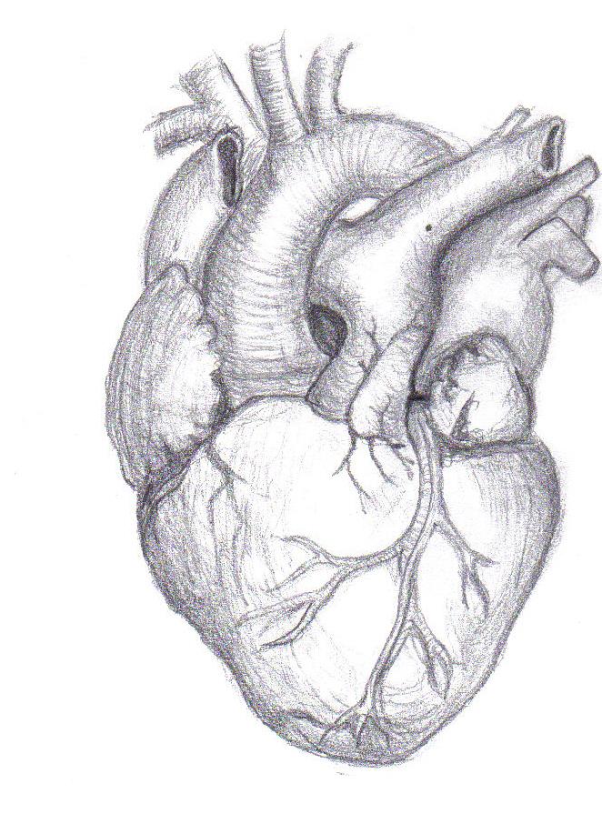 662x895 Human Heart By Mutantenmaid