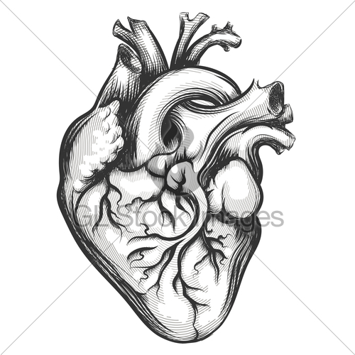 500x500 Human Heart Gl Stock Images