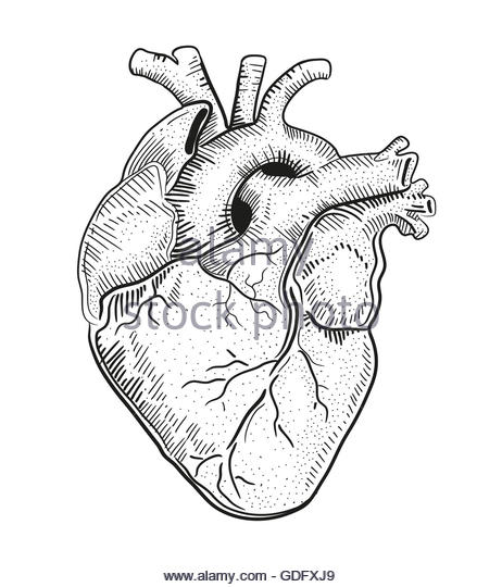 462x540 Muscle Heart Drawing Cut Out Stock Images Amp Pictures