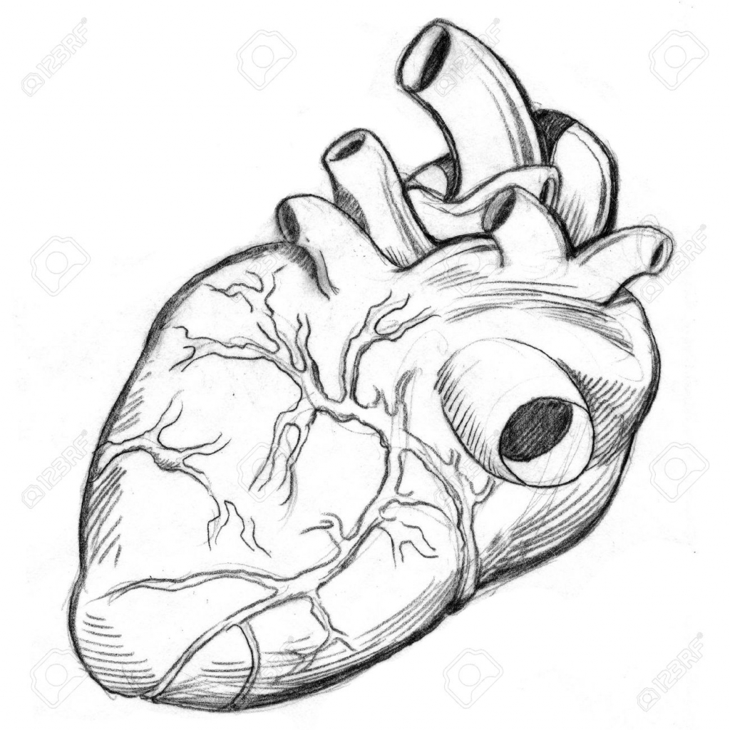 1024x1024 How To Draw A Human Heart An Image Of A Human Heart Drawing Stock
