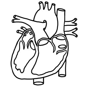 300x300 Anatomical Human Heart Coloring Pages Anatomical Heart Outline