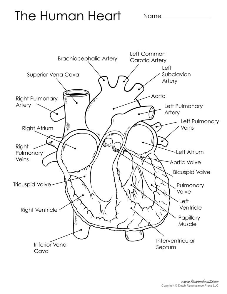 Human Heart Drawing Images at GetDrawings | Free download
