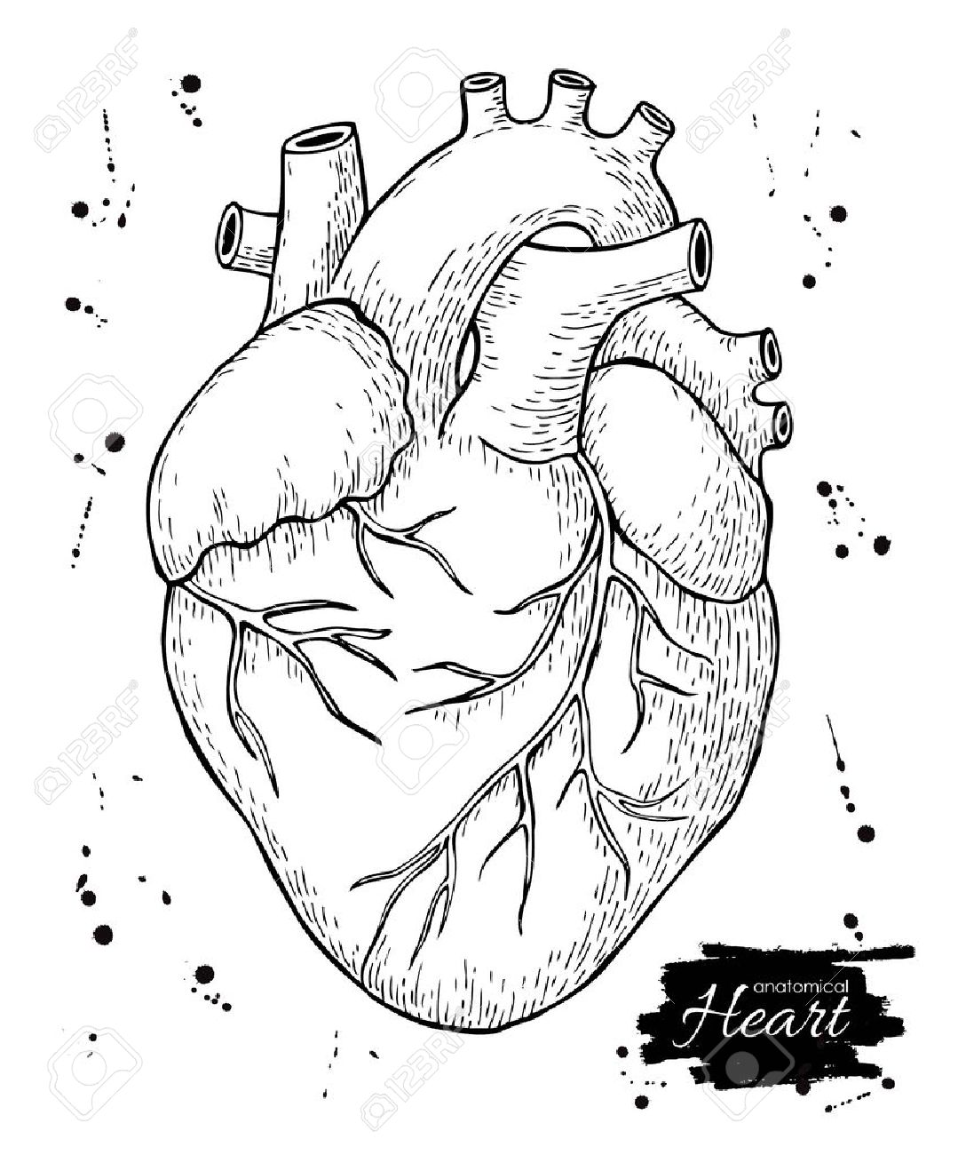 1079x1300 Anatomical Human Heart. Engraved Detailed Illustration. Hand