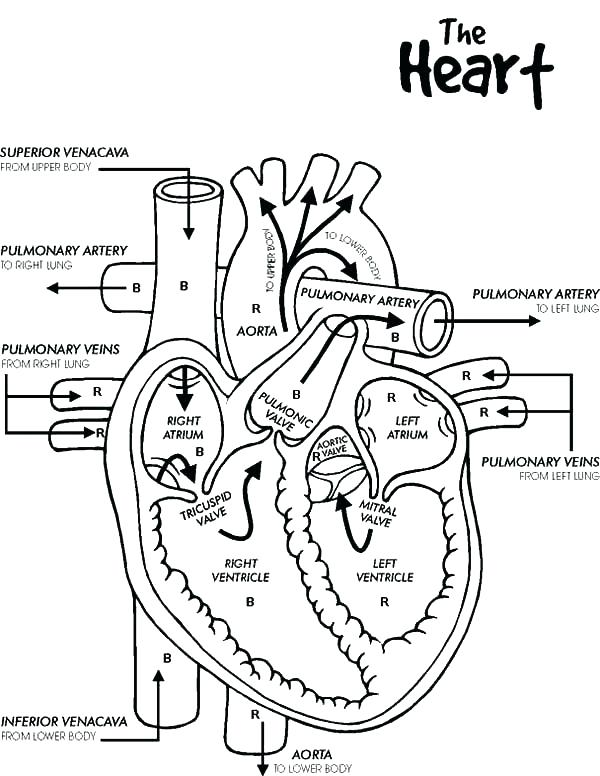 600x776 Human Heart Coloring Page