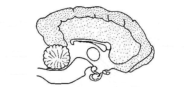 612x288 Draw Brain Anatomy