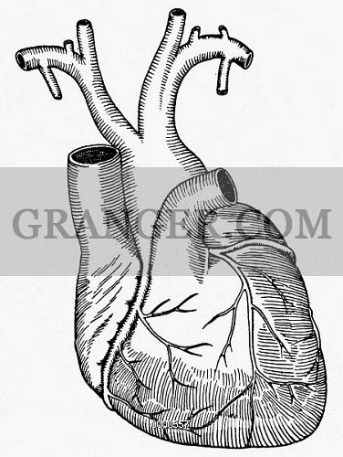 376x500 Image Of Human Heart.