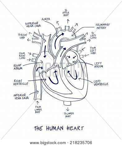 393x470 Sketch Human Heart Anatomy On Blue Vector Amp Photo Bigstock