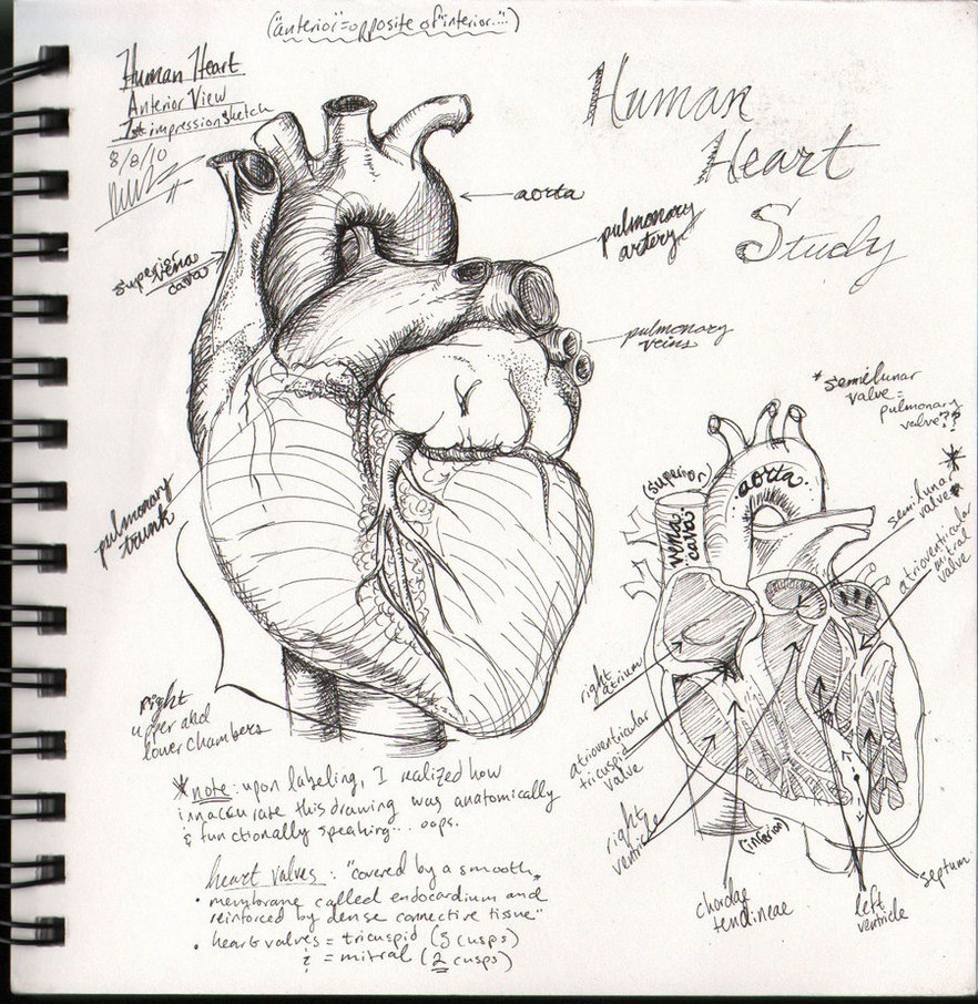 882x906 Human Heart Sketch With Label Human Heart Sketchbook
