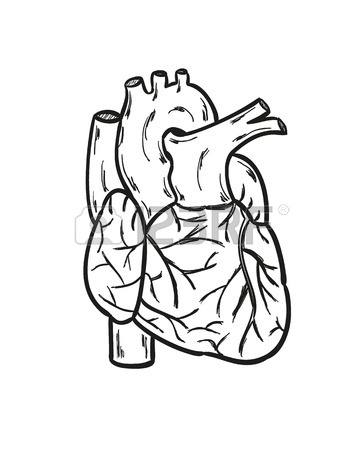 363x450 Sketch Of The Human Heart On The White Background, Isolated