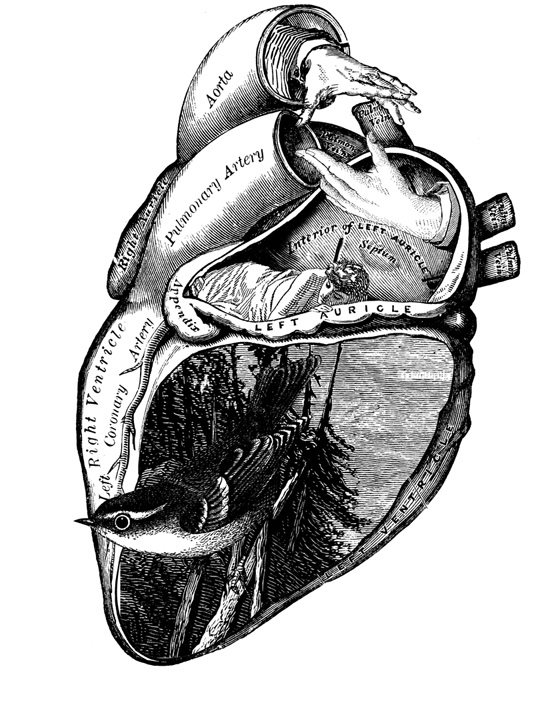 556x705 Tattoo Idea. Anatomical Heart. Ink Or Stress Management
