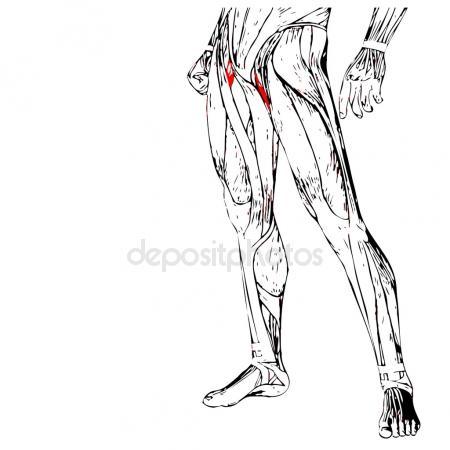 450x450 Adductor Longus Human Upper Legs Stock Photo Design36
