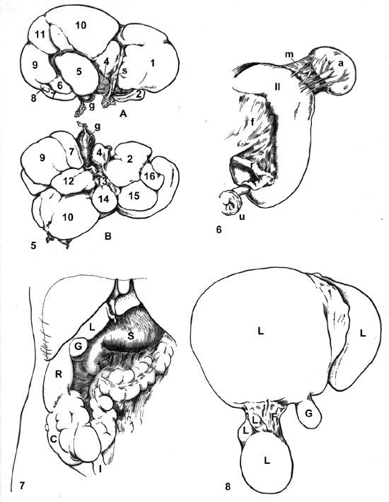 Human Liver Drawing