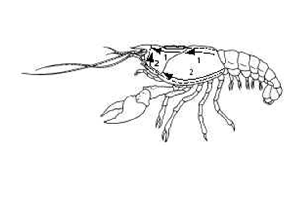 960x720 Staring The Crayfish Part 2 Internal Anatomy