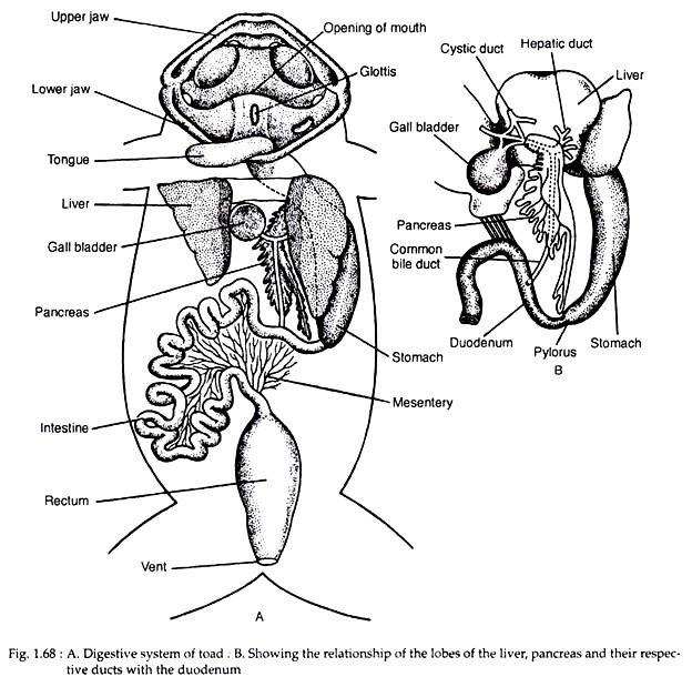 624x619 Digestive System Of Toad (With Diagram) Zoology