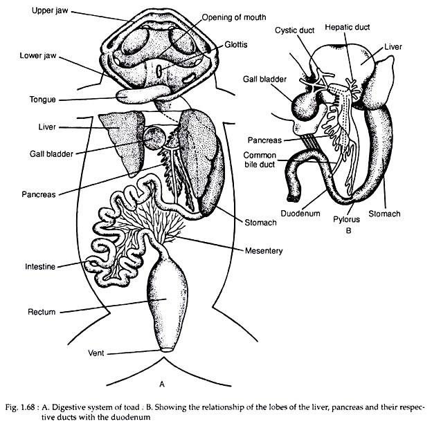 Human Liver Drawing At Getdrawings Com
