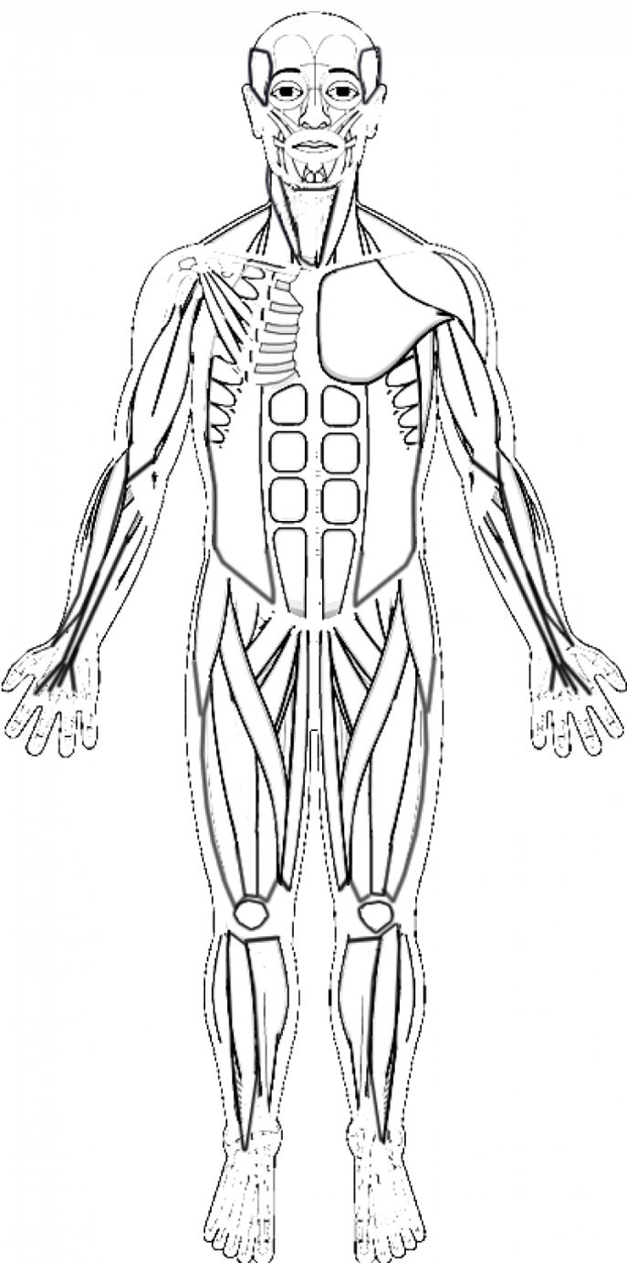 Free muscular system coloring pages ~ Human Muscles Drawing at GetDrawings.com | Free for ...