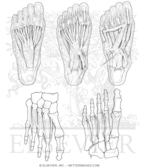 Human Muscles Drawing At Getdrawingscom Free For Personal Use - Anatomy-muscle-coloring-pages
