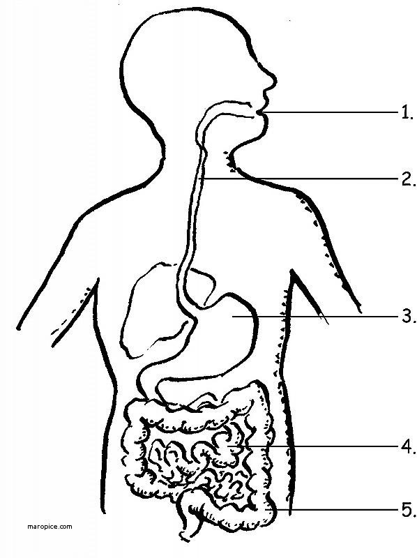 598x800 Human Anatomy Anatomy Human Organs New The Digestive System No