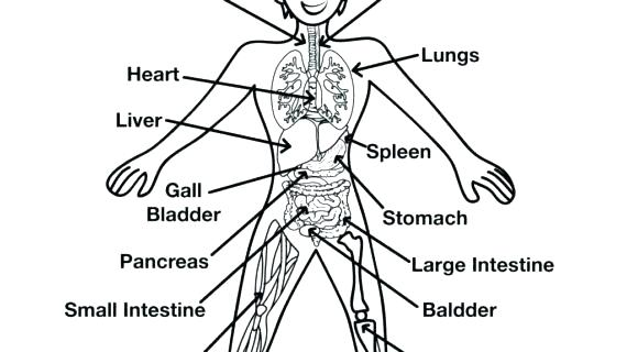 570x320 Human Organs Coloring Page Human Body Coloring Pages Human Body