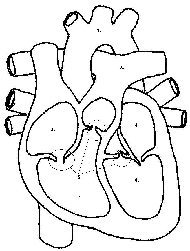 656x864 labeled diagram of heart for kids on top facts about