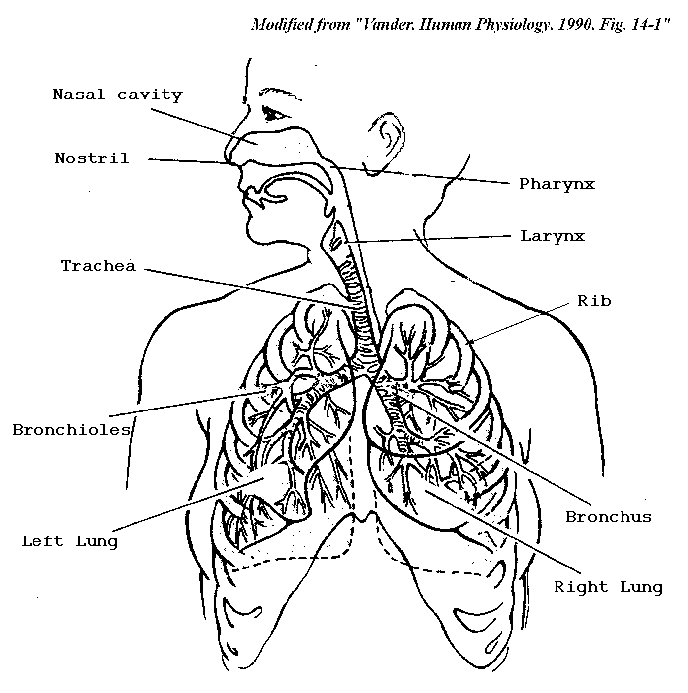 1397x1408 Respiratory System Picture Drawing Organs Of The Respiratory