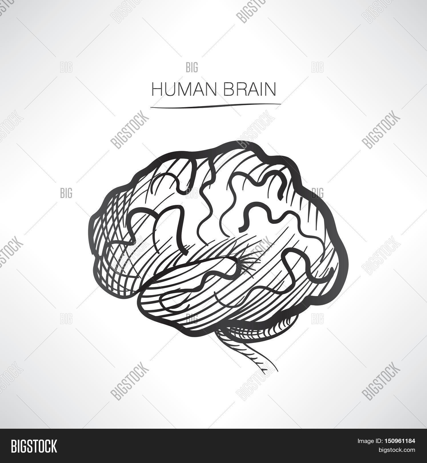 1495x1620 Drawn Brain Internal
