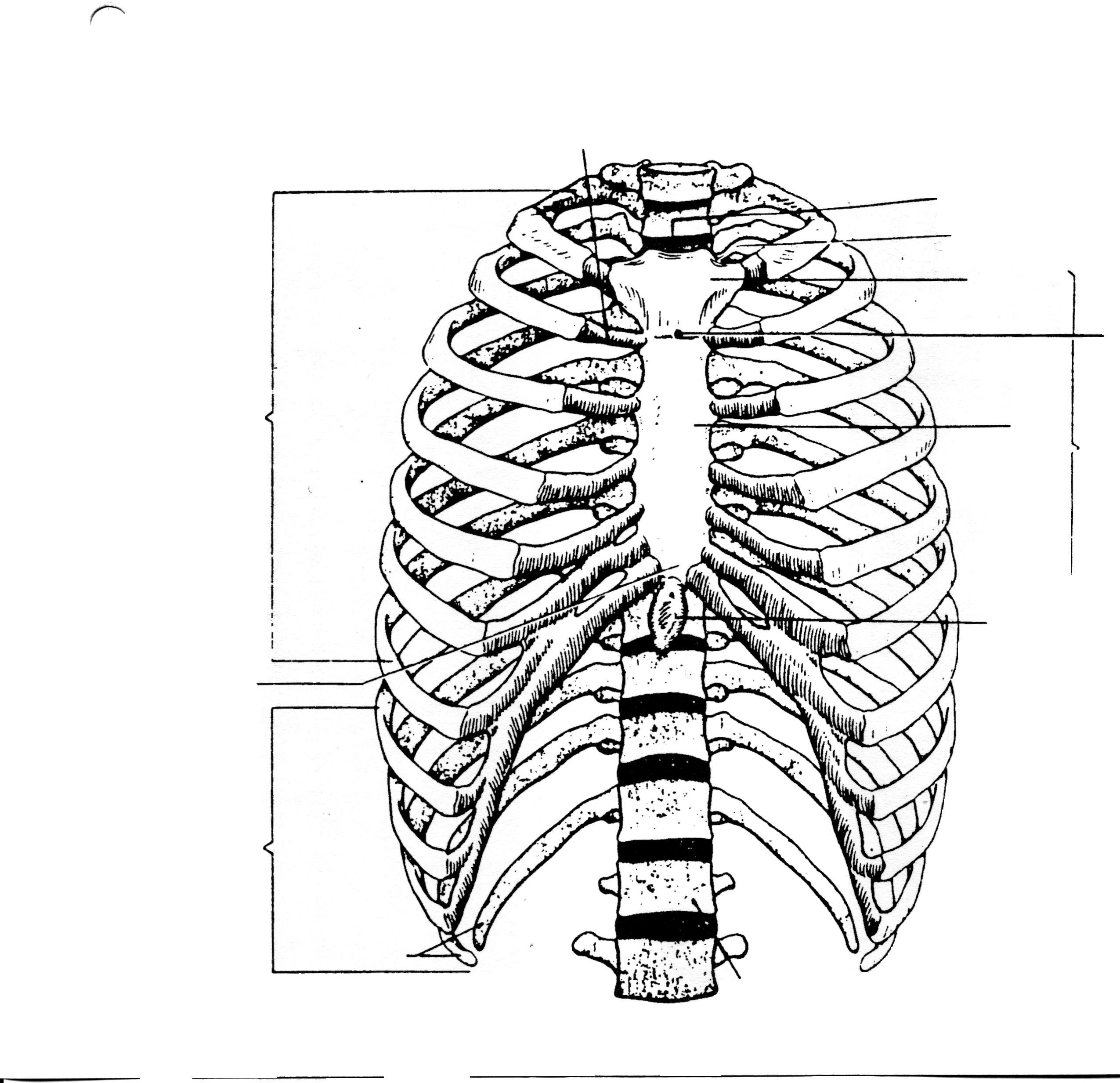 human rib cage drawing at getdrawings com