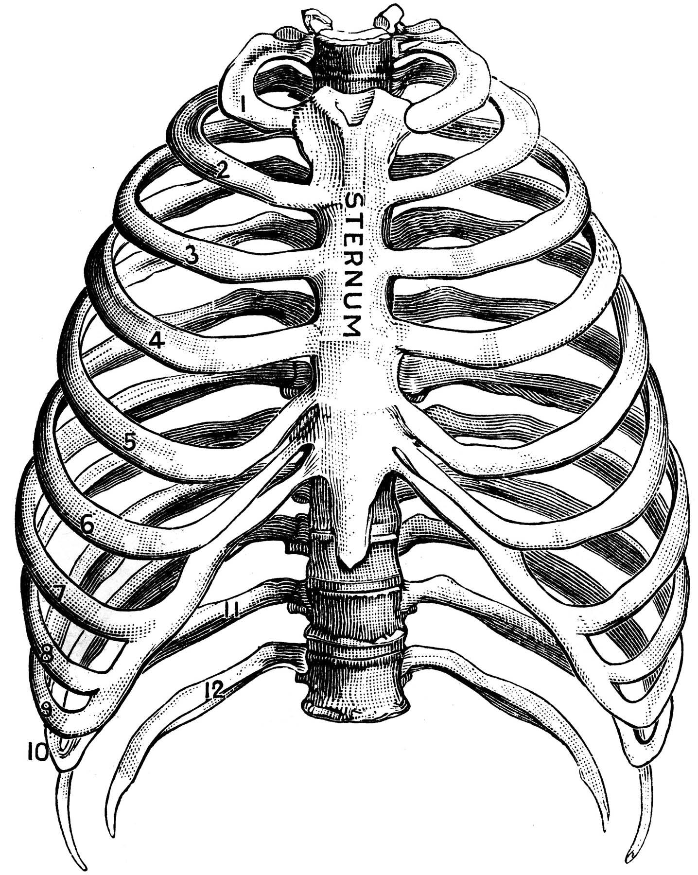 1436x1800 Human Ribs Drawing Human Thorax Clipart Crafts