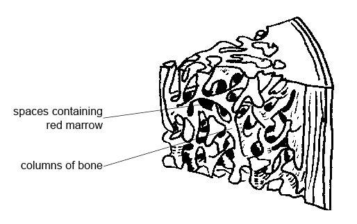 514x323 Anatomy And Physiology Of Animalsthe Skeleton