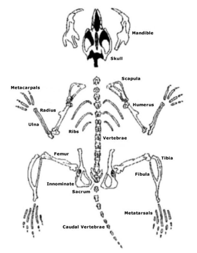 657x842 Human Skeleton Vs Rodent Skeleton Tenderness.co