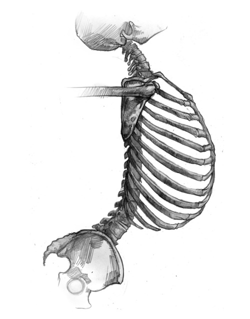 500x638 Skeleton Side View Drawing