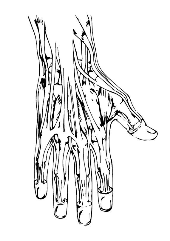 570x807 Svg Anatomy Hand Eps, Anatomy Hand Svg, Anatomy Hand Silhouette
