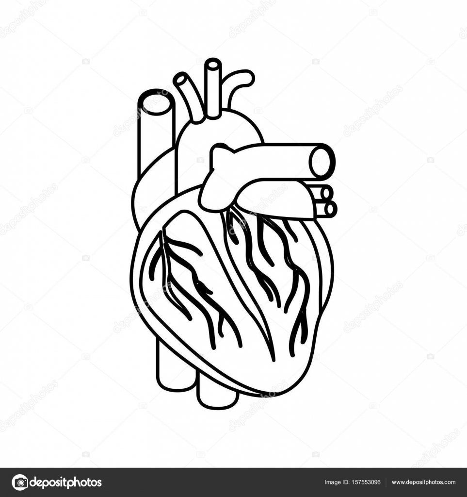 963x1024 Sketch Silhouette Heart System Human Body Stock Vector