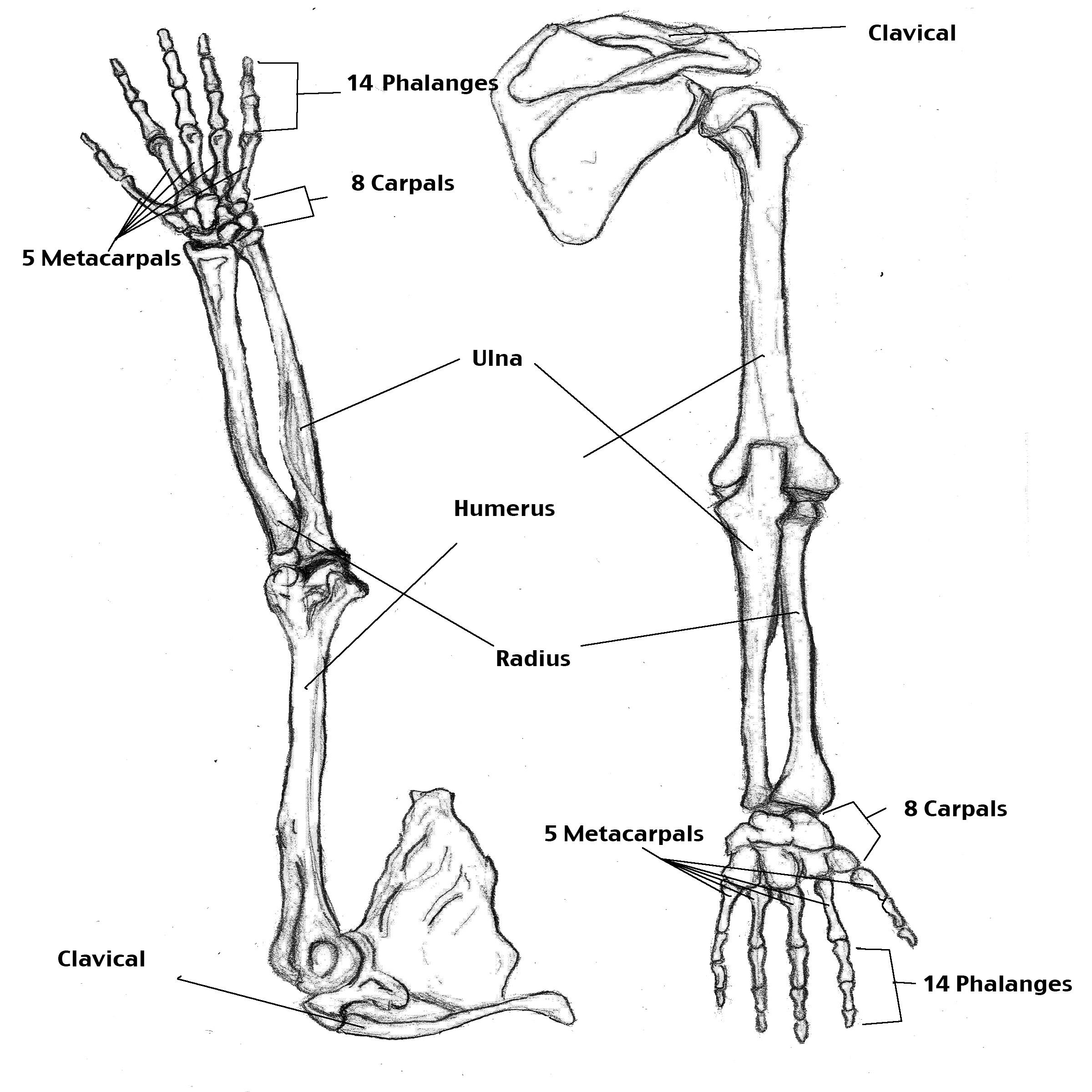 2400x2400 Drawn Skeleton Arm