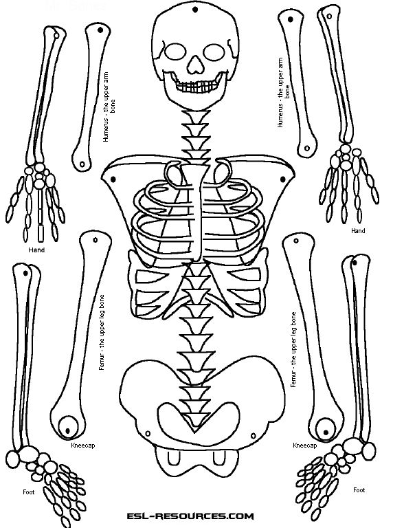 photograph relating to Printable Skeleton Bones identified as Human Skeletal Procedure Drawing at  No cost for
