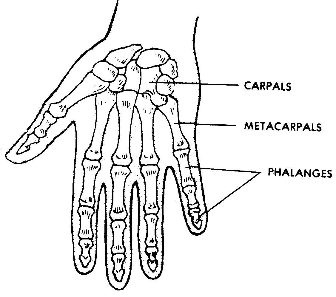 1126x996 Images 04. Skeletal System Basic Human Anatomy