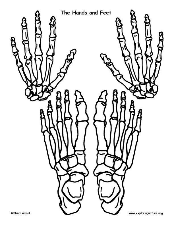 612x792 Make A Model Of The Human Skeleton Cuerpo Humano
