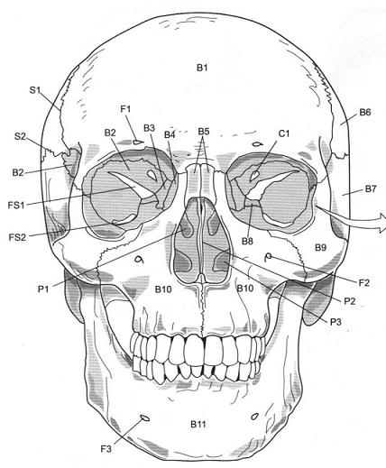 428x519 Axial Skeleton Skull Flashcards By Proprofs