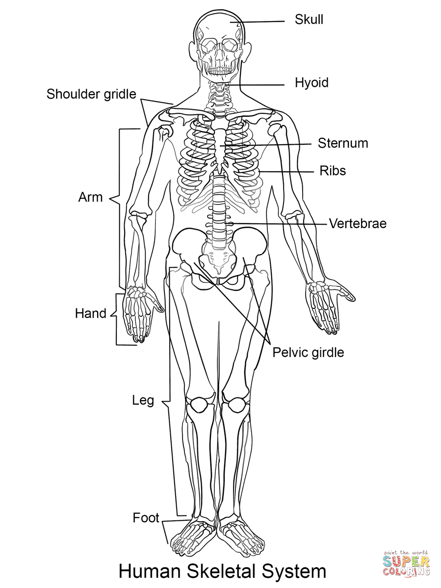 899x1199 Printable Picture Of Human Skeleton Human Skeletal System