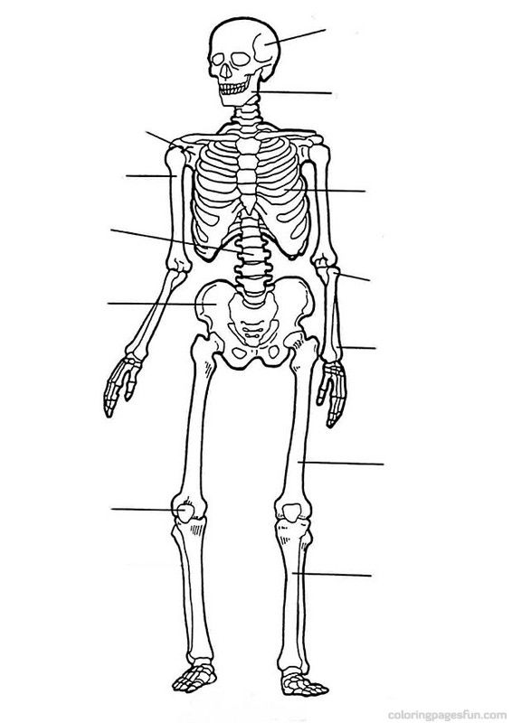 566x800 Skeletal Anatomy Coloring Sheet Skeletal System Coloring Pages