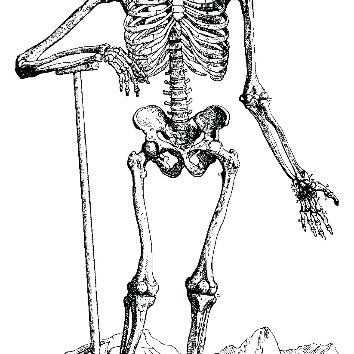 skeletal system coloring page - human skeletal system drawing at free