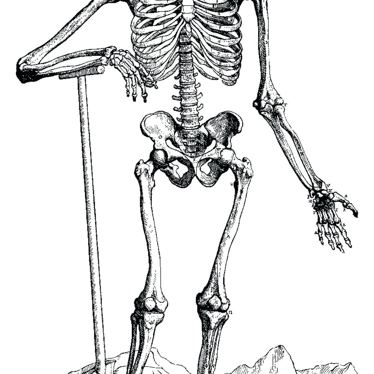 Skeleton Diagram Drawing 519 Dbd