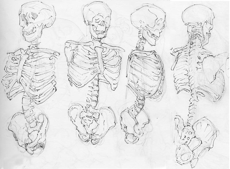 800x587 More Like Anatomy Study Skeleton Torso By Jkrik