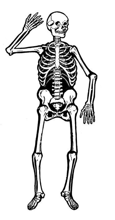 369x700 Human Skeleton Clipart Group
