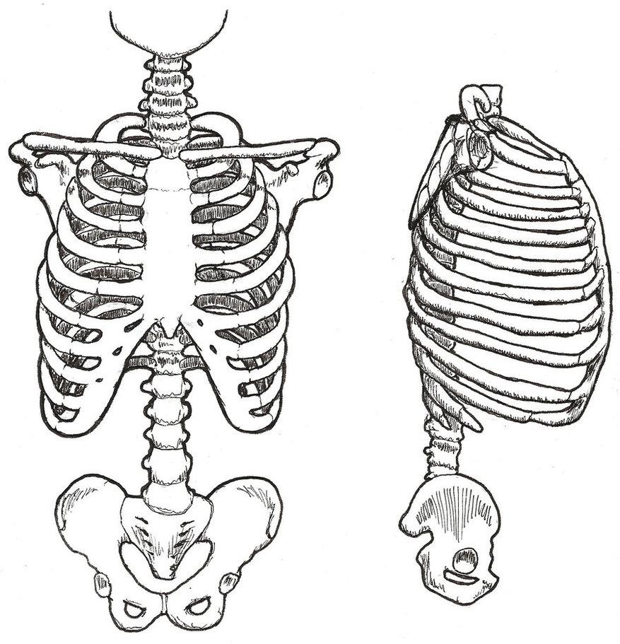 877x911 Human Skeleton Ribs Drawing