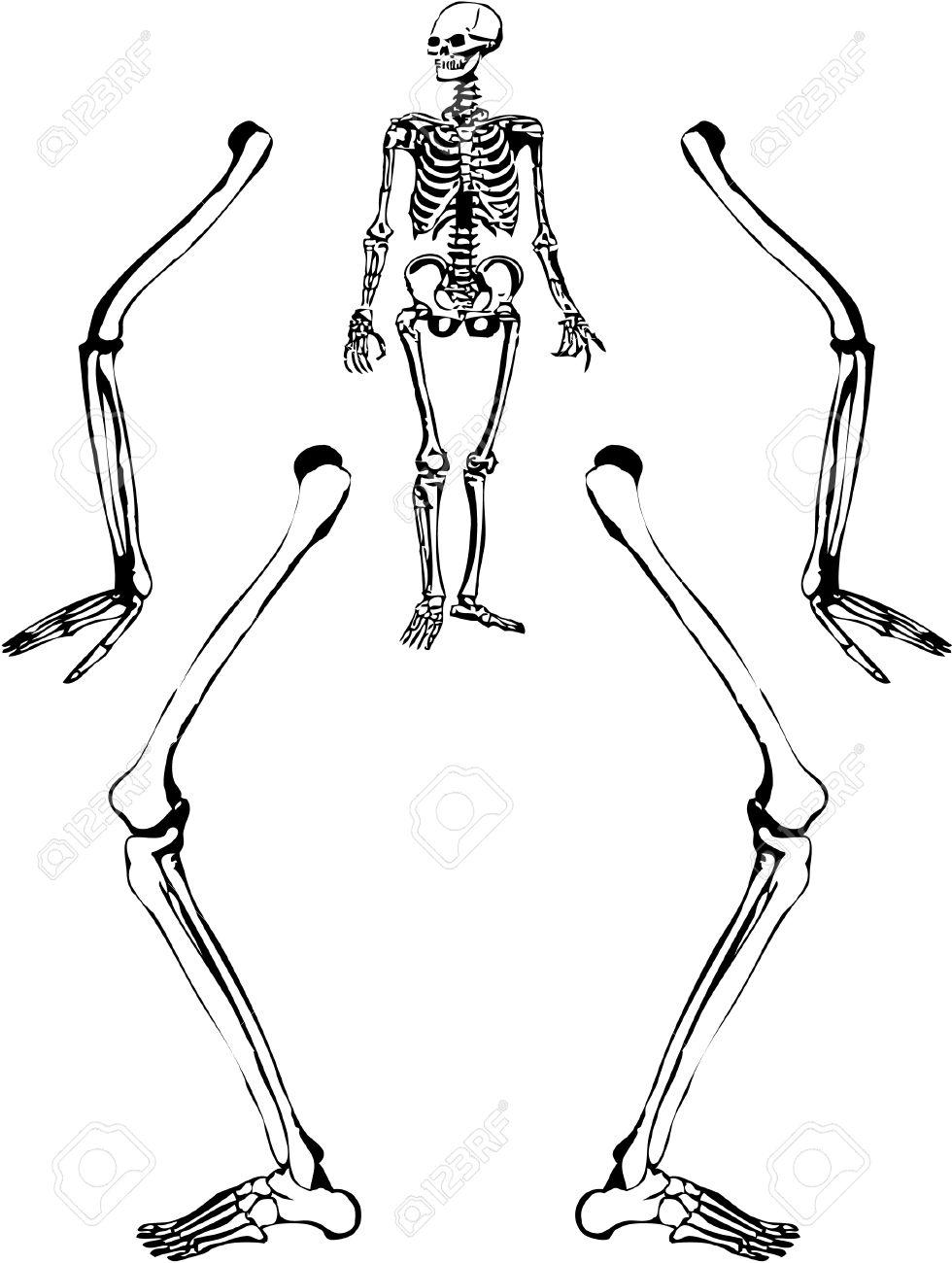 980x1300 Sketch Like Illustration Of A Human Skeleton. Vector 8. Royalty