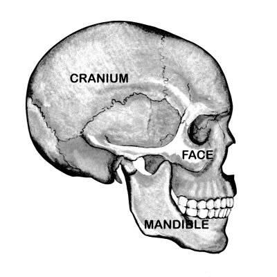 400x400 Human Skull Labeled Side View Photographic Print